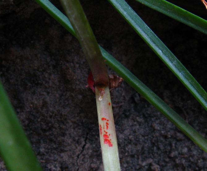 Сохнут маленькие листики у луковичных