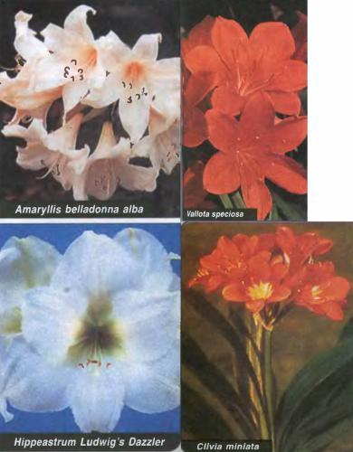 Как отличить гиппеаструм от амариллиса и валотты?