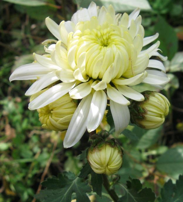Хризантема -королева осени